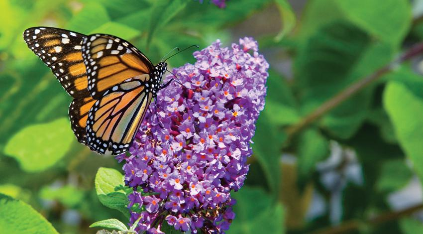 A monarch butterfly sits on a flower.