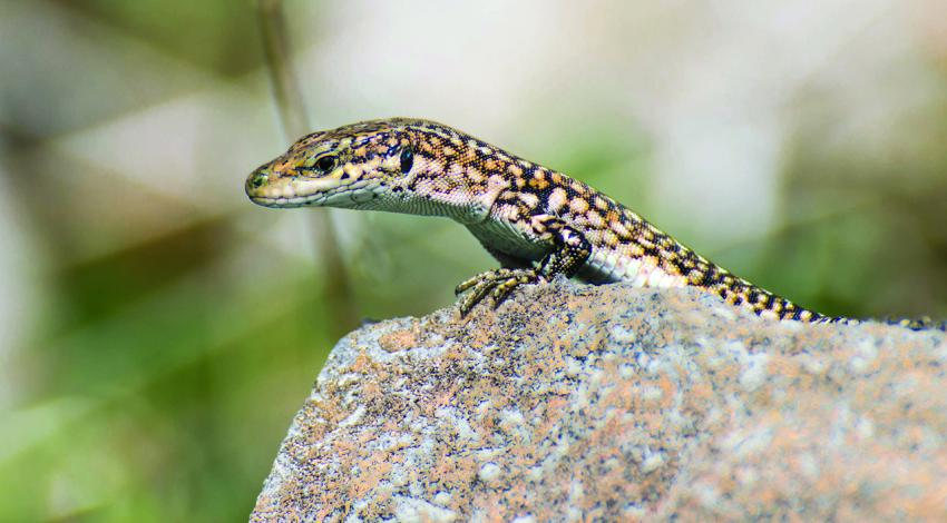 A lizard sits perched on a rock