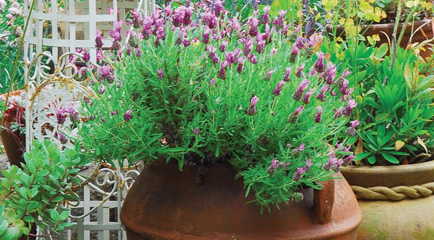 Lavender grows in a pot.