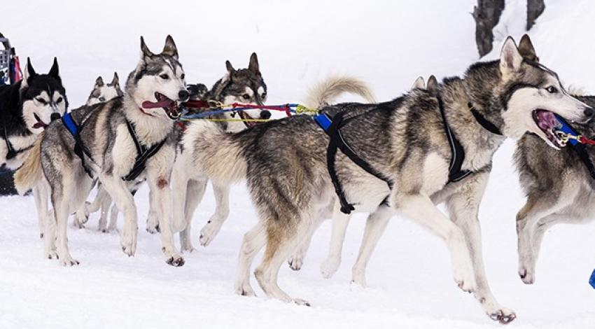 A pack of sled dogs carry a sled.