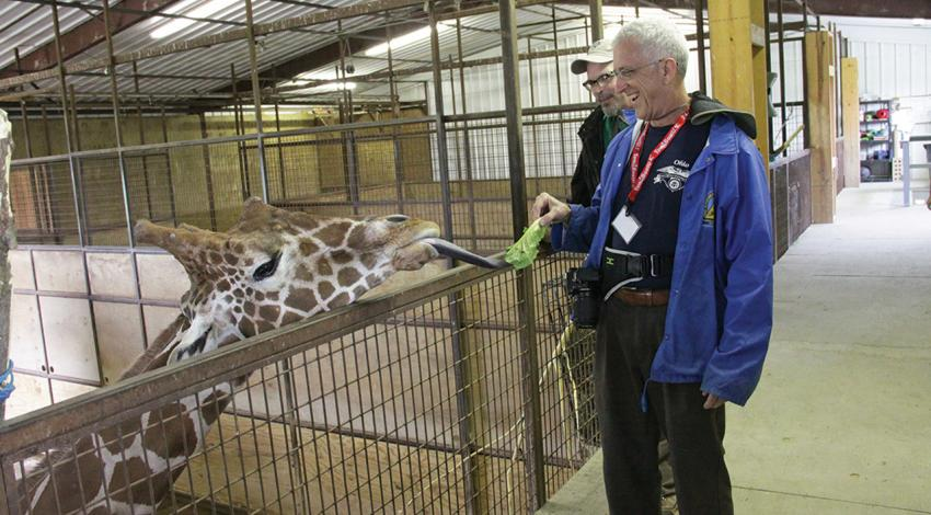A man feeds a giraffe a piece of lettuce as it reaches for it.